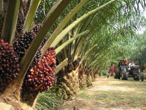Palm oil – what you should know