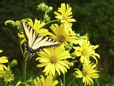 TMC-yellow-butterfly