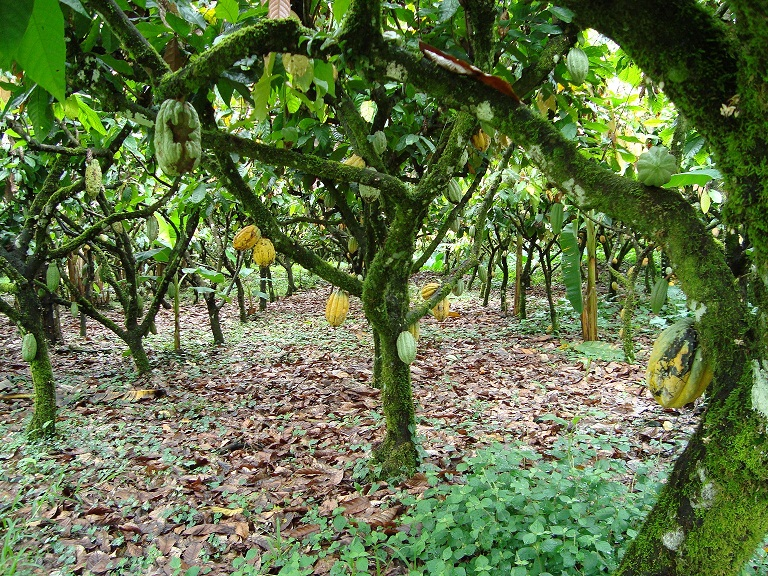 http-_www.post-nigeria.com_nigerias-cocoa-production-will-expand-by-1million-tonnes-in-five-years-adesina