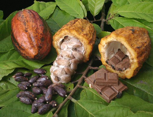 Cocoa production – an introduction!