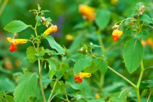 Jewelweed – a gem for preventing poison ivy rash!