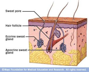 Cartoon of eccrine and apocrine sweat glands