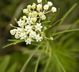 Whorled milkweed, Asclepias verticillata, with white umbel of flowers and narrow green leaves whorled around the stem