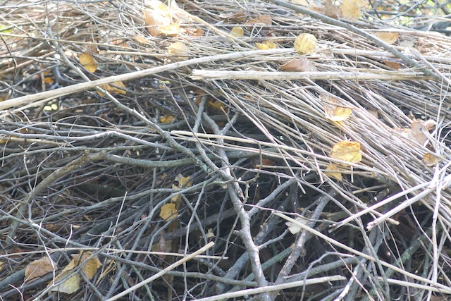 Brushpile made of sticks, twigs and hollow plant stems and leaves. Brush piles provide important habitat for birds, small mammals and other creatures.