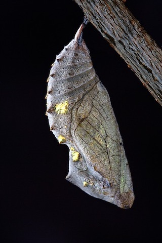 Brown butterfly chrysalis attached to twig. Example of habitat provided by a dead plant.
