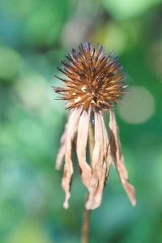 Echinacea seedhead with brown sepals drooping below seed head. The seeds will provide food to birds and insects during fall and winter.