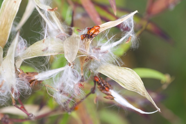 Red milkweed (Asclepias incarnata) going to seed, with white silk attached to red seeds, open whitishi-brown pods and milkweed bugs. Silks provide nesting material for birds.