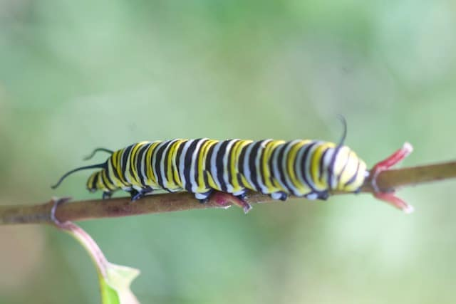 Large monarch caterpillar on milkweed stem with no leaves, all leaves have been eaten. Caterpillar is in search of fresh leaves.