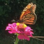 The Magnificent Monarch Migration!