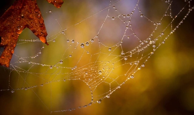 Red oak leaf and spider web covered in dew in yellow-gold evening light.