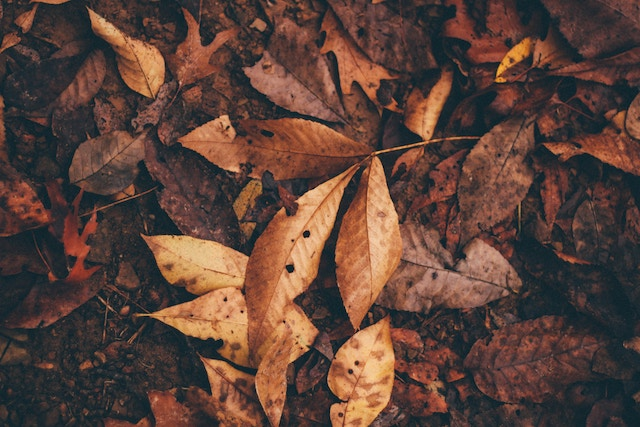 Hickory and beech and other leaves on ground in autumn. Leaf litter provides habitat and insulates soils.