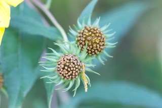 Two composite seed heads of sunflower. Seeds are starting to set and heads are surrounded by spiky green sepals.