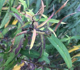 swamp milkweed (Asclepias incarnata) foliage in late summer, with monarch caterpillar and dried seed pods