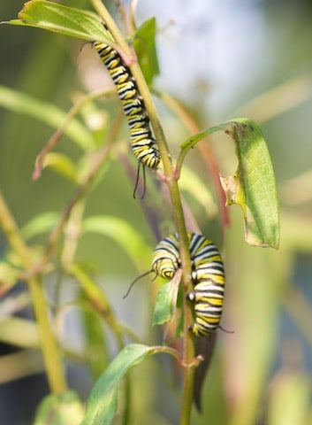 Two monarch caterpillars on stem of swamp milkweed, showing partially eaten leaves