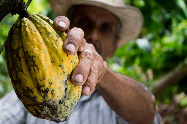 A Colombian man grasps a yellow-green cocoa pod attached to a tree.