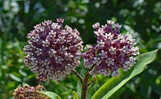 Common milkweed (Asclepias syriaca) flowers, leaves and stem