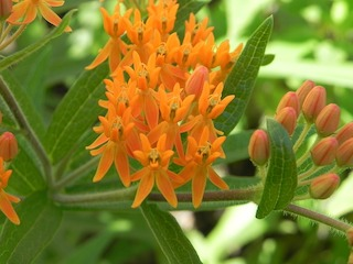 Butterfly milkweed, Asclepias tuberosa, with open and closed clusters of orange flowers and lance-shaped green leaves