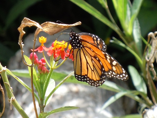 monarch butterfly on flowers of butterfly milkweed Asclepias tuberosa