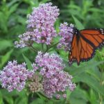 Milkweed Species For Your Garden!