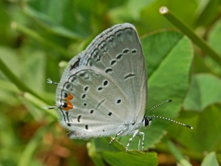 how butterflies overwinter, overwinter, overwintering, butterflies, Eastern Tailed Blue, Everes_comyntas