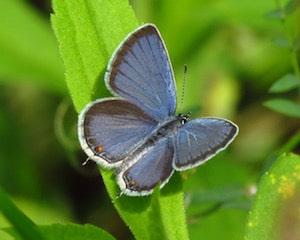 how butterflies overwinter, overwinter, overwintering, butterflies, Eastern Tailed Blue, Cupido comyntas