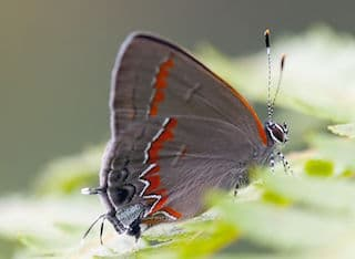 how butterflies overwinter, overwinter, overwintering, butterflies, Red-banded Hairstreak, Satyrium calanus