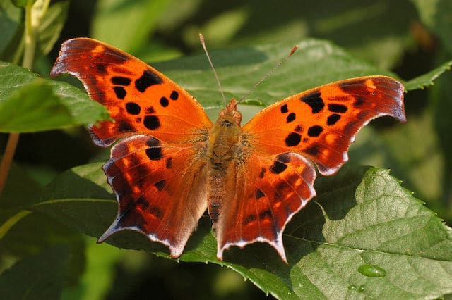 how butterflies overwinter, overwinter, overwintering, butterflies, Question Mark, Polygonia interrogationis