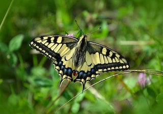 how butterflies overwinter, overwinter, overwintering, Tiger swallowtail butterfly