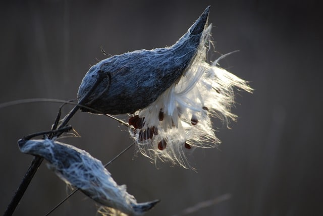 Milkweed pods with silky seeds emerging. Plant milkweed and there will be more monarch sightings next year!
