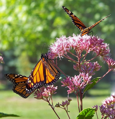 Report Your Monarch Sightings!