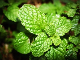 Green mint plant, mentha spicata, essential oils, scent, aromatic compound, aroma, fragrance, flavor