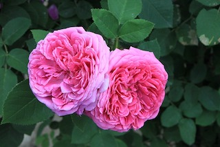 Rosa damascena, essential oils, scent, aromatic compound, aroma, fragrance, flavor