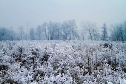 A meadow in winter. Tall vegetation covered with white frost, a cold sky and treeline in the background. mowing, habitat, wildlife, rotational mowing, lawn, overwintering
