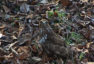 leaf litter, leaves, soil, rake. Hawk standing among autumn leaves and grass. Hawk has yellow patch above beak and is looking at the camera.