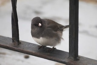 Dark eyed junco sitting on metal railing looking cute, with snow in background