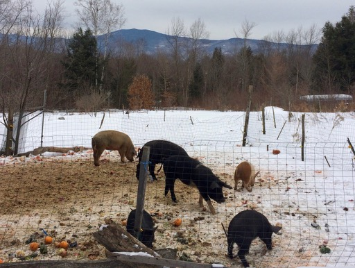 D Acres, Community Permaculture, permaculture, permaculture farm, pigs in snow eating vegetables, mountains in background, New Hampshire farm