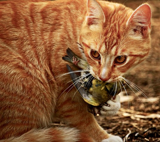 cats and birds, bird mortality, cats kill birds, protect birds from cats, protect birds