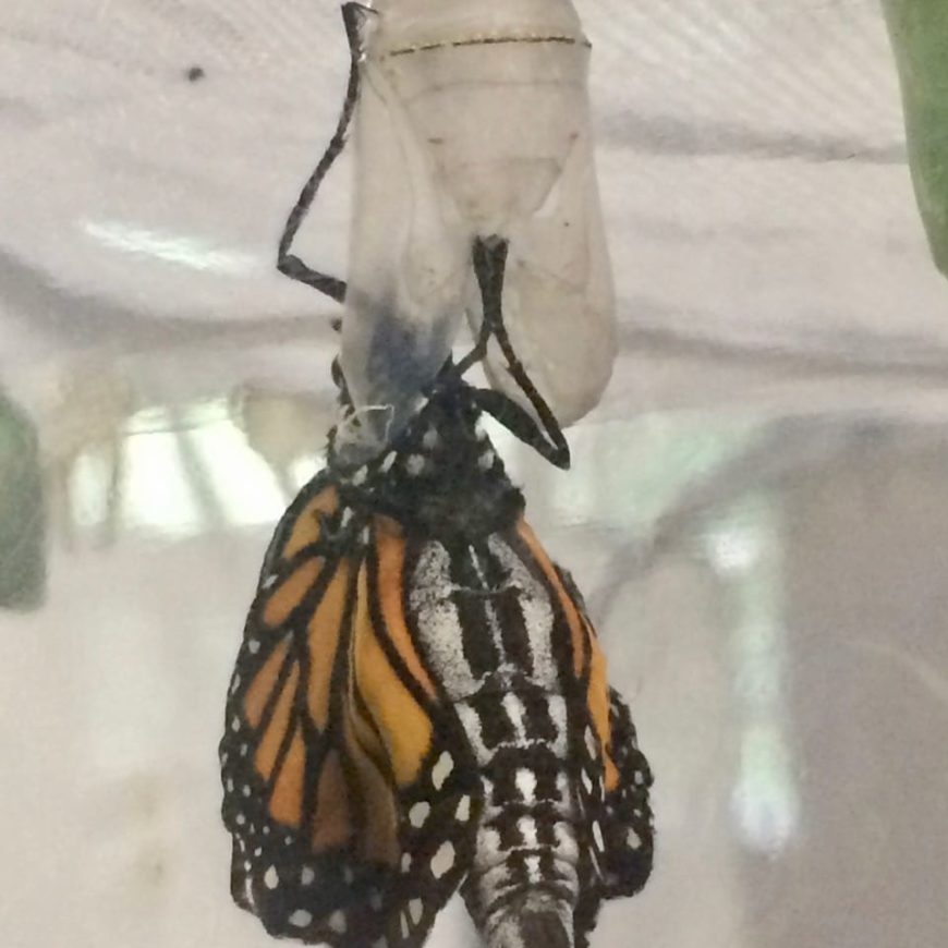 A Monarch is Born!