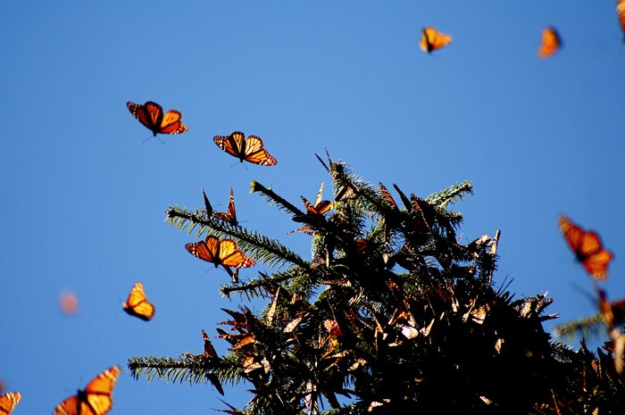 Monarch butterfly migration, monarch overwintering, habitat, pollinators