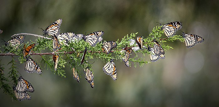 Monarchs Arrive at Overwintering Grounds!