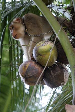 monkey picking coconuts for vegan soap